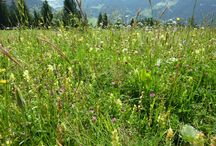 Wild flowers of the Alps / All the pictures taken in two days during hiking (July 24 and 26 2013)