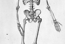anat squelette