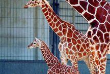 Giraffe opdracht
