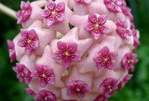 Flowers - Hoya