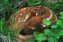 Precious Spotted Fawns