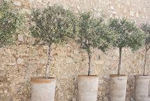 Middelhavsplanter / Krukker opstammet myrter granatæbletræer oliven