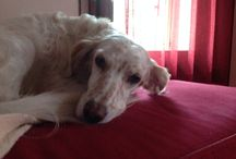 Margot / English setter