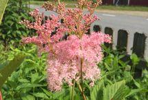 Trädgårdsblommor / Rosa amerikanskt älggräs.