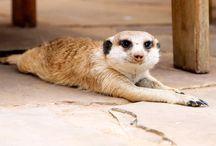 сурикаты ( Meerkats )