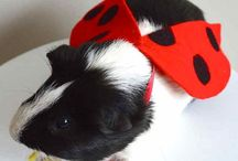 Costumes for Guinea pigs