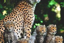 Kedi ailesi