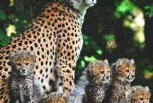 BIG WILD CATS & OTHER WILDLIFE ANIMALS