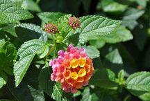 Flowers / Lantana