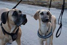 My dogs / Sloughi & Boerboel