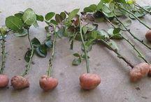 řezané růže pěstované v bramborách-vyzkoušet
