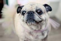Pugs! / by Jordan Toy