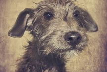 Adorable Scruffy Dogs