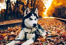 Huskies ❄