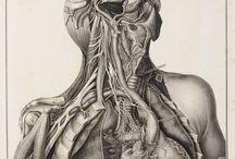 Cardiovascular/Circulatory System
