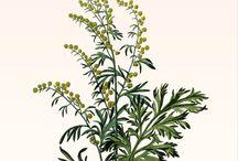 Medicinal Herbs etc