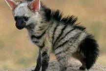 striped hyena