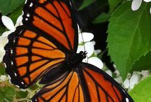 Die Schmetterlinge=  Borboletas