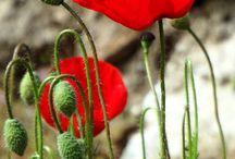 poppy flower / Παπαρούνες