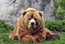 Ursa Amor