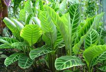 Tropical Akld