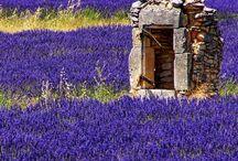 Lavender/ Λεβάντα