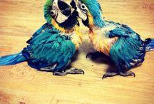 Papegaai. / kippen