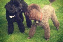 Pets & Poodles