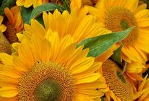 K - 3 SLUNEČNICE /  Sunflower