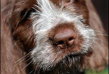 German Longhaired Pointer Signs and Stuff