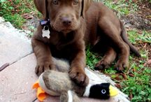 Labrador Retrievers - Goofballs of the Dog World / If you love a Lab, then you know that they can be the cutest and goofiest dogs around. Here's a collection of sweet and funny pictures staring America's favorite breed of dog.