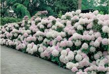 7-rhododendron