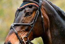 equestrian || bay horse love