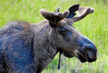 Canadian Animals / All different species from everywhere in Canada