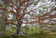 pictures for sale / pine tree