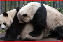 Panda Life Cycle / Pandas are mistakenly believed to be poor breeders due to the disappointing reproductive performance of captive animals.  But long-term studies have shown that wild panda populations can have reproductive rates comparable to some American black bear populations, which are thriving.