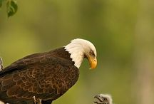Patriotic Wildlife / These wildlife are native to North America, and specifically the United States!