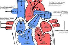 circulation /respiration