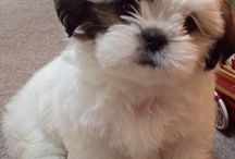 Cute Shih Tzu Puppies