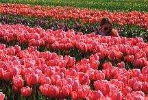 Tulips / Tulips festival. Mount Vernon, Washington.