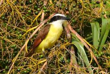 Bird Photos / Bird watching in the Yucatan Peninsula Mexico.