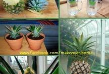 Tuinieren / Kweken van ananasplant