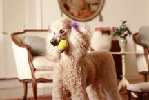 Poodle Love / by Jeni Lamberto