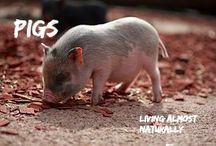 Pigs / All about Pigs