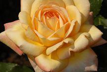 Rosa - růže