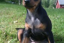 My little baby <3 / Here's my private pictures of our little puppy, Lola. She's a 1 year old beautiful Miniature Pinscher <3