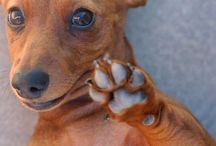 Cute Dogs: Dachshunds  / A continuation of adorable dogs.