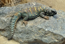 My future reptile / Pictures of Ball Pythons, Leopard Geckos, Bearded Dragons, Uromastyx, Ackie Monitors, Greek Tortoises and Red Footed Tortoises
