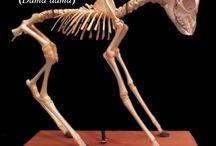dama dama skeleton, / esqueleto de ciervo dama