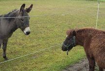Hevoset ja Aasit